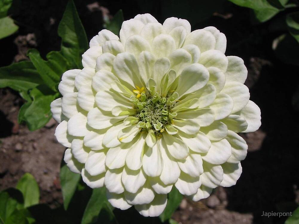 White Zennia by Japierpont