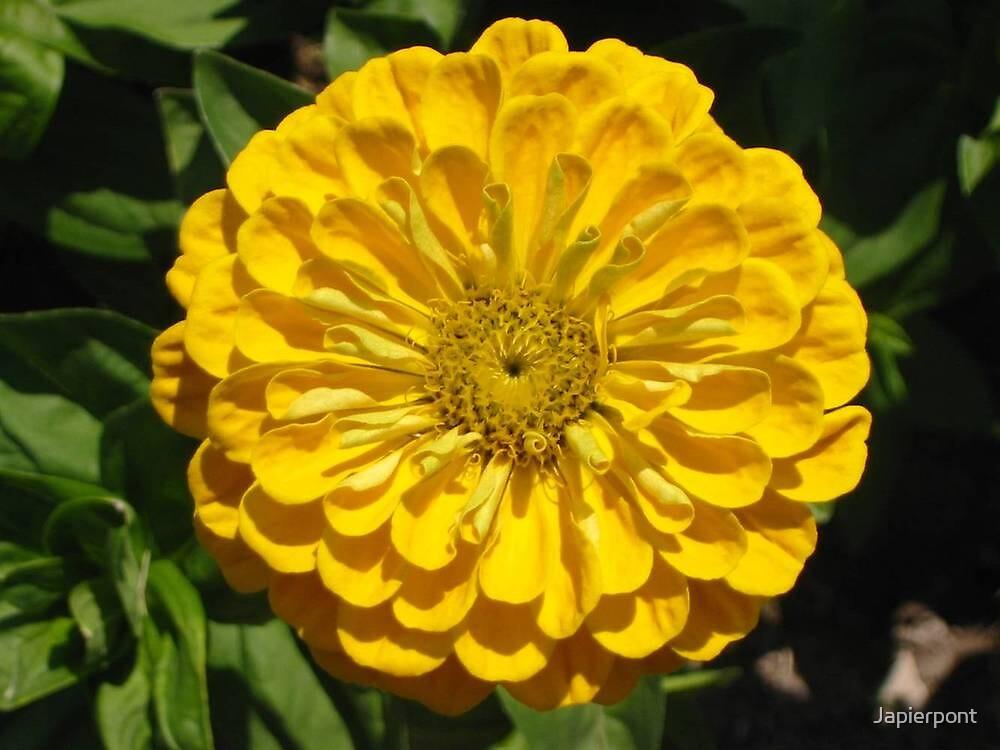 Yellow Zennia by Japierpont
