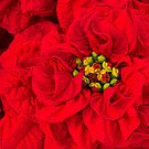 The Christmas Rose by Marilyn Cornwell