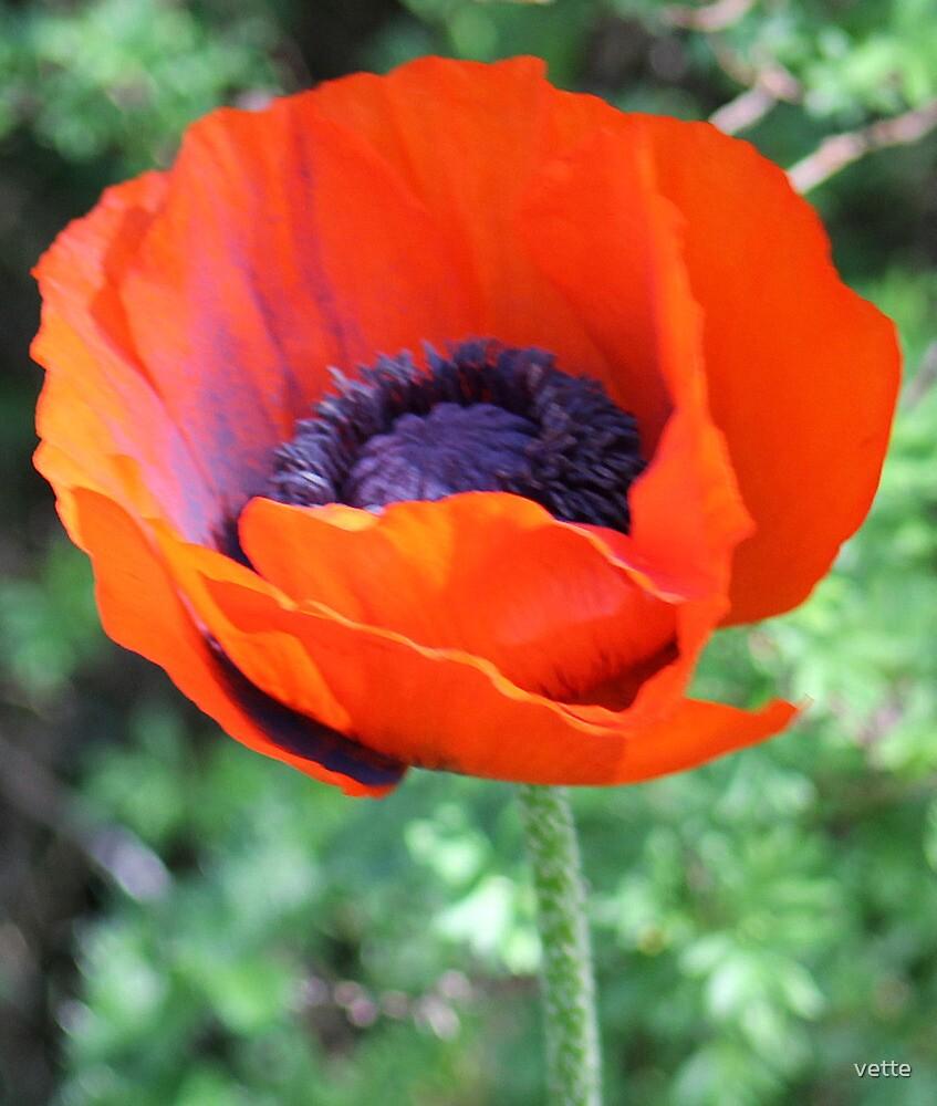 Poppy So Happy To Bloom. by vette