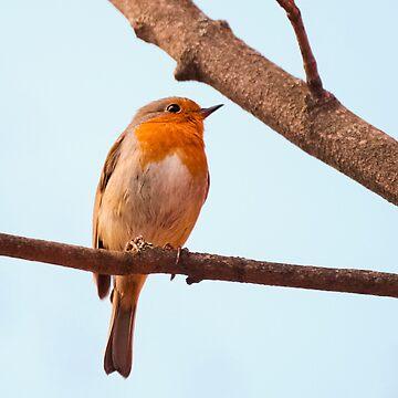 Erithacus rubecula, red chest bird, on a branch by ArveBettum