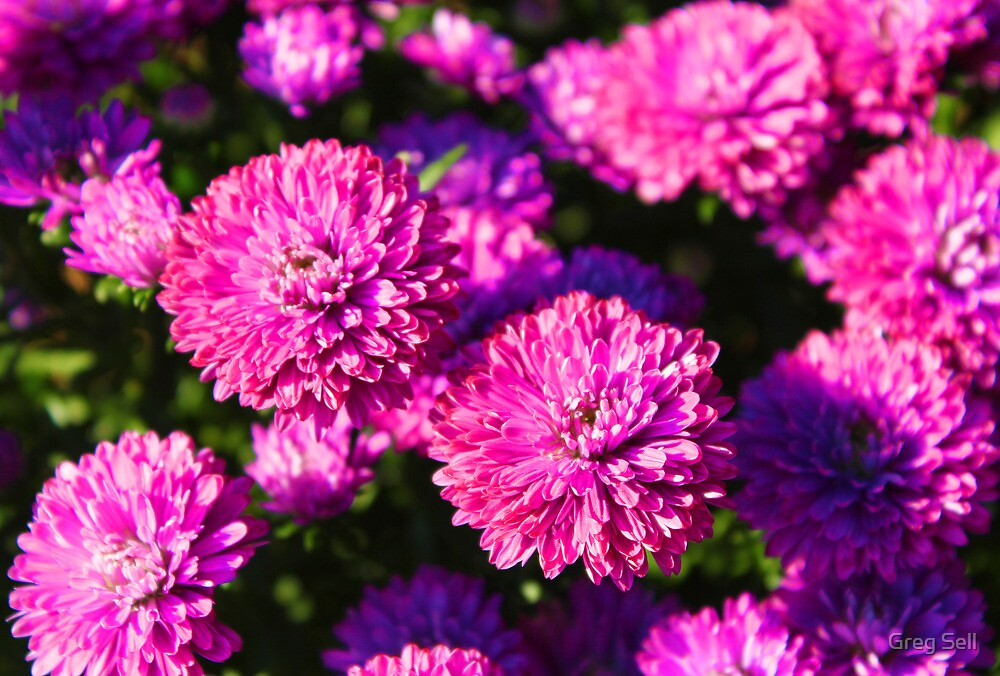 Mums by Greg Sell