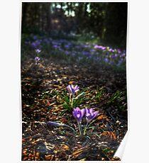 Crocuses - Mt Tomah NSW Poster