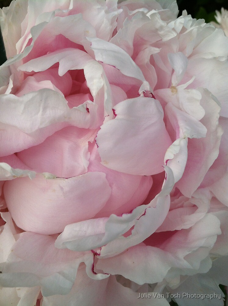 Peony posturing by Julie Van Tosh Photography