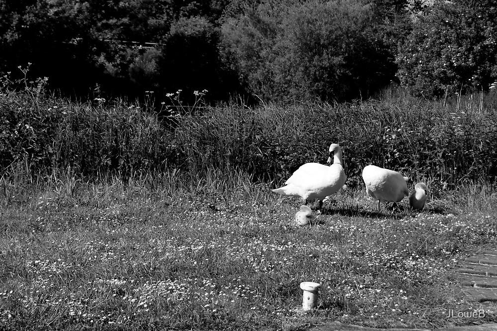 Swans by JLowe8