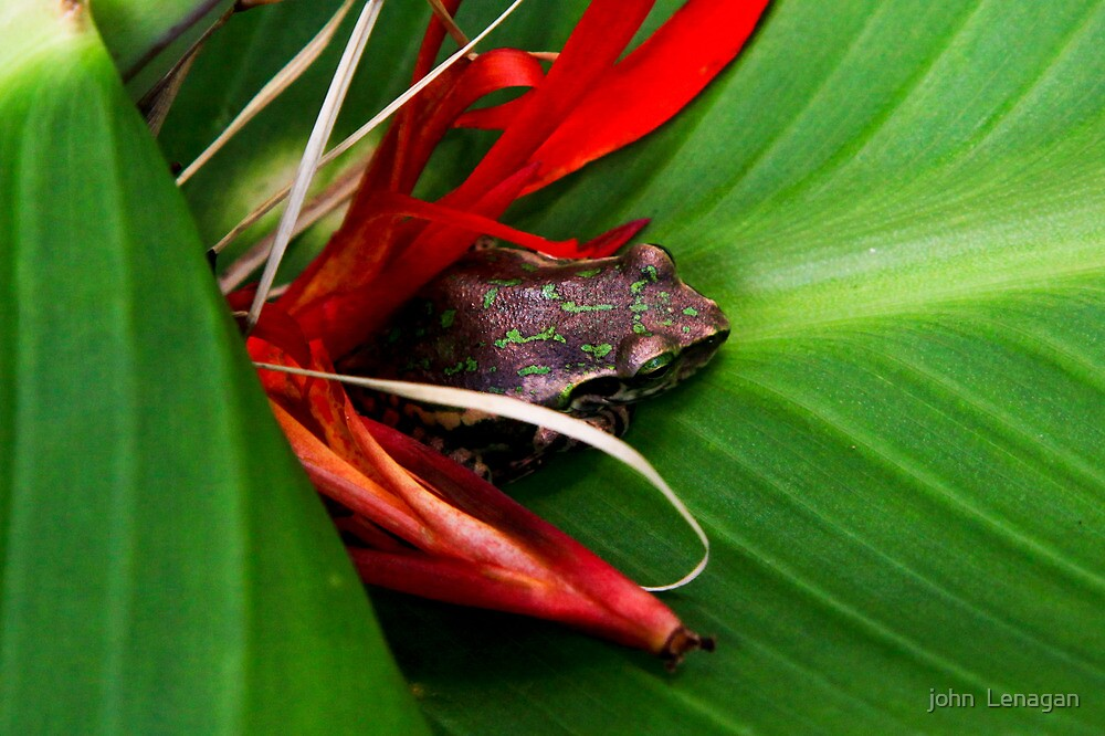 Tree frog  - Mantellinae  tsingymantis -  Anja reserve  Madagascar by john  Lenagan
