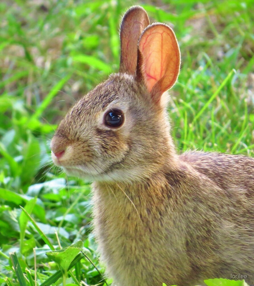 The Bunny in My Yard by lorilee