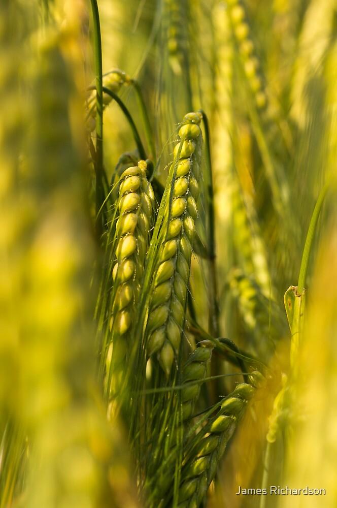 Corn Field by James Richardson