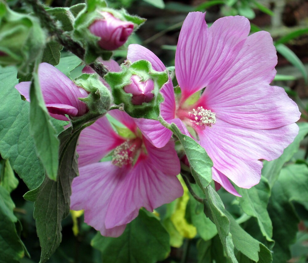 a lovely lavatera by margaret hanks