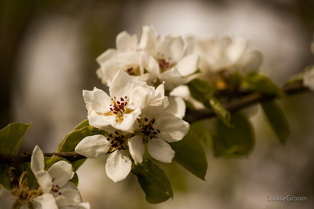Blossoming  by LouiseGroom