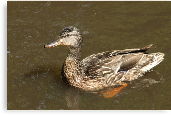 Mrs Mallard  by Stephen Thomas
