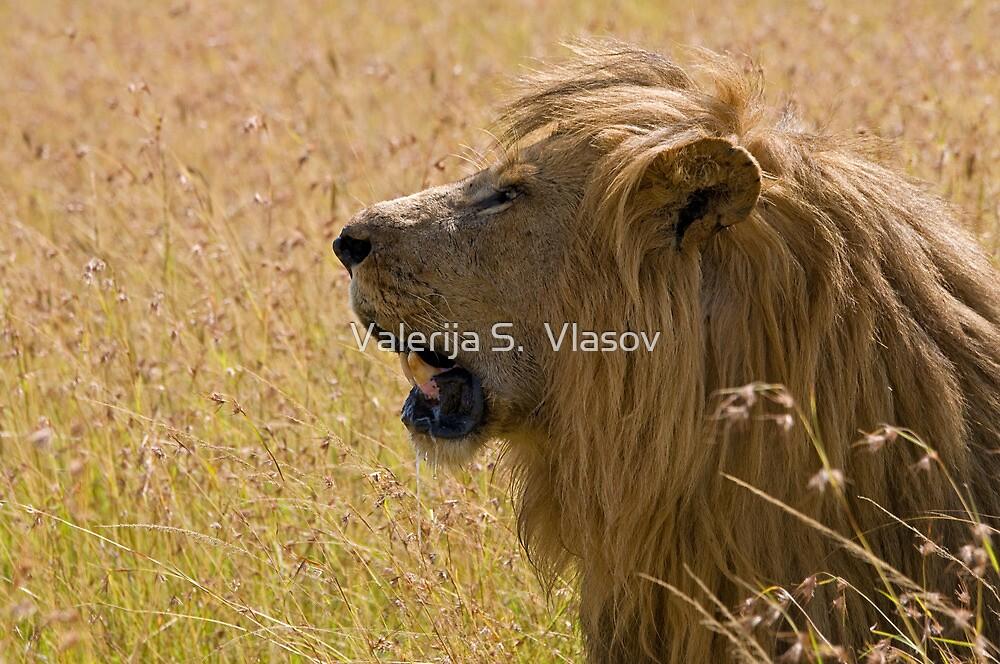 Male lion by Valerija S.  Vlasov