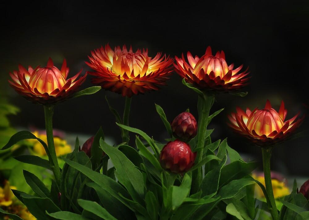 Strawflowers by sunshine65
