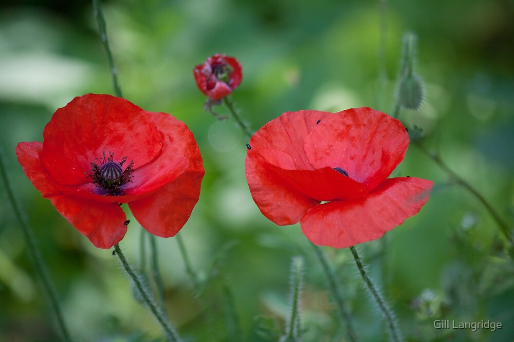 Poppies by Gill Langridge