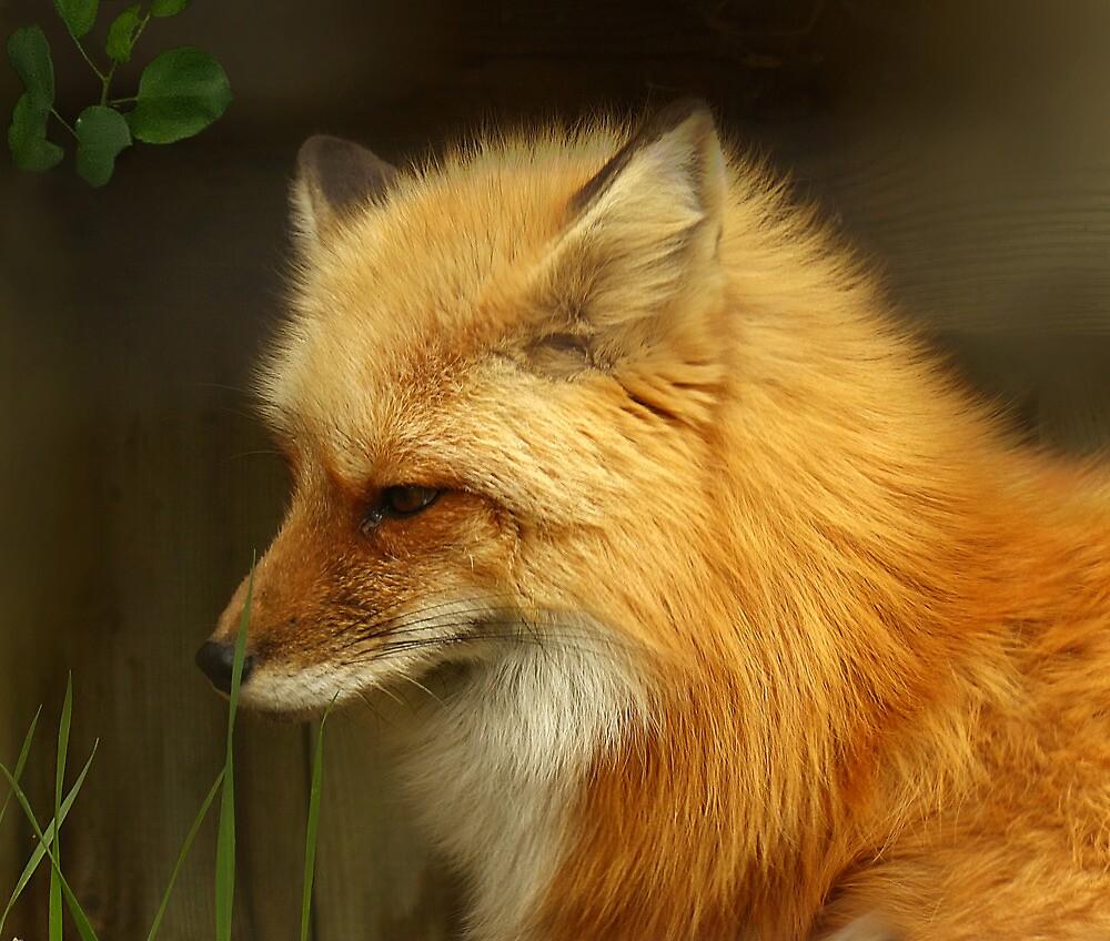 Red Fox by sunshine65