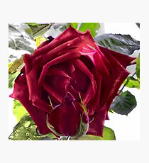 Ena Harkness Rose Photographic Print