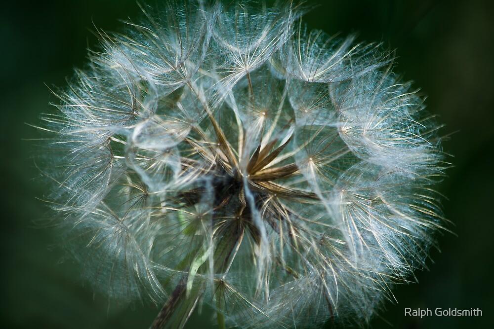 Dandelion by Ralph Goldsmith