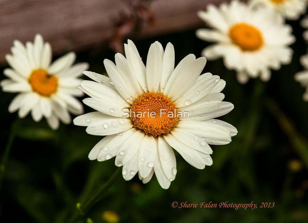 three daisy by Sharie Falan