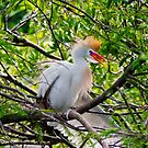 Cattle Egret  by Robert H Carney