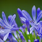 Blue Day Lilies by Robert H Carney