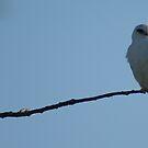 Black-shouldered Kite by BronReid