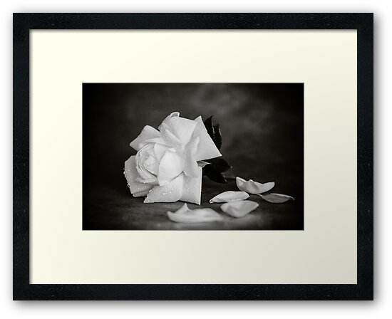 White Rose in Mono by mlphoto