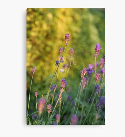 Sunset Lavender Canvas Print
