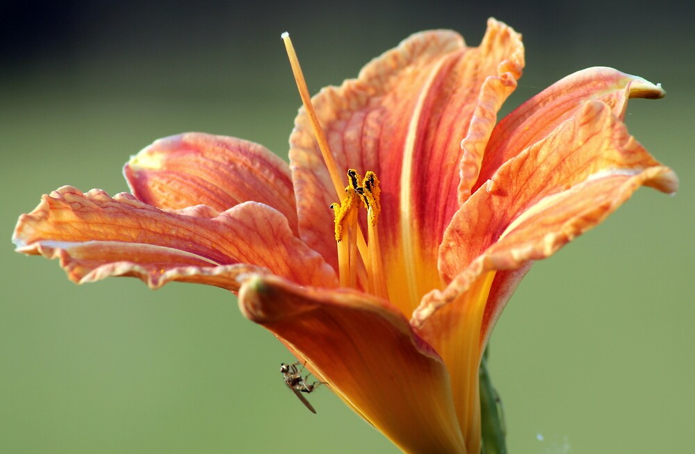 Day Lilly by Simon Brown