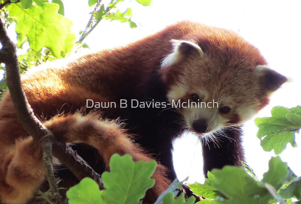 Redpanda Lookout by Dawn B Davies-McIninch