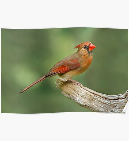 Sitting Pretty - Female Northern Cardinal Poster