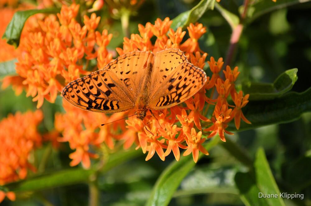Orange Butterfly 7849 by Duane Sr