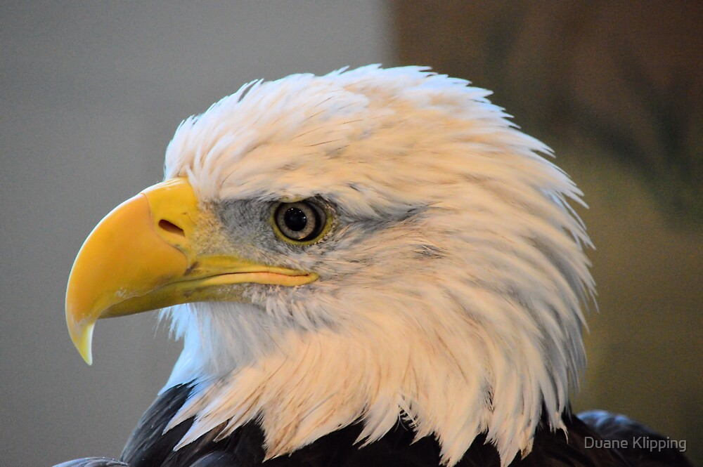 Bald Eagle 7615 by Duane Klipping