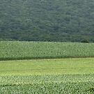 Beautiful Corn Field by Cathy Cale