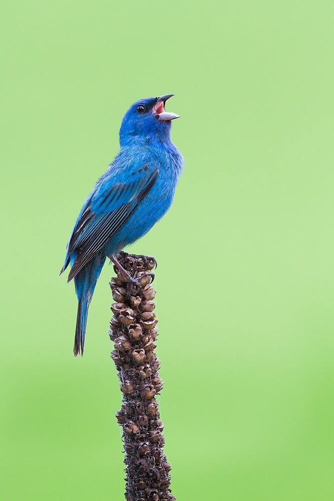 Indigo Bunting Singing the Blues. by Daniel Cadieux
