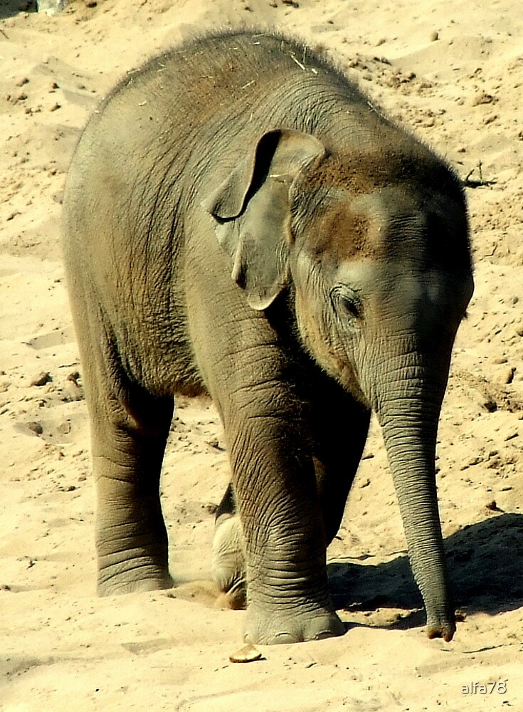 Baby Elephant  by alfa78