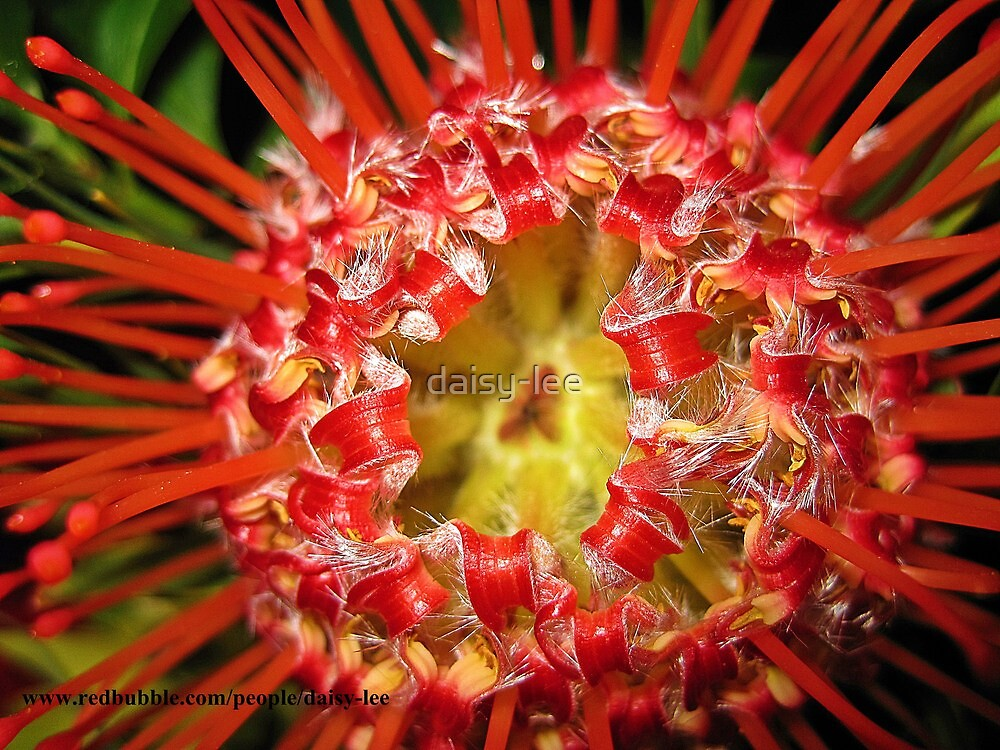 Waratah by daisy-lee