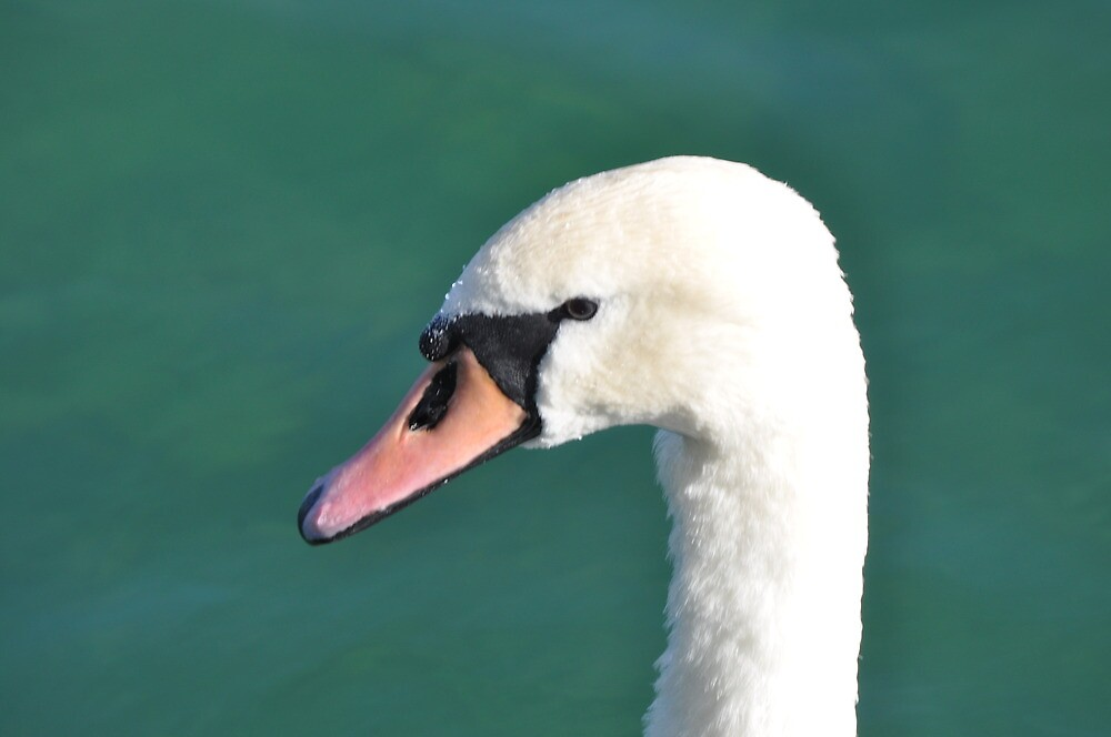 Swan by leveleleven