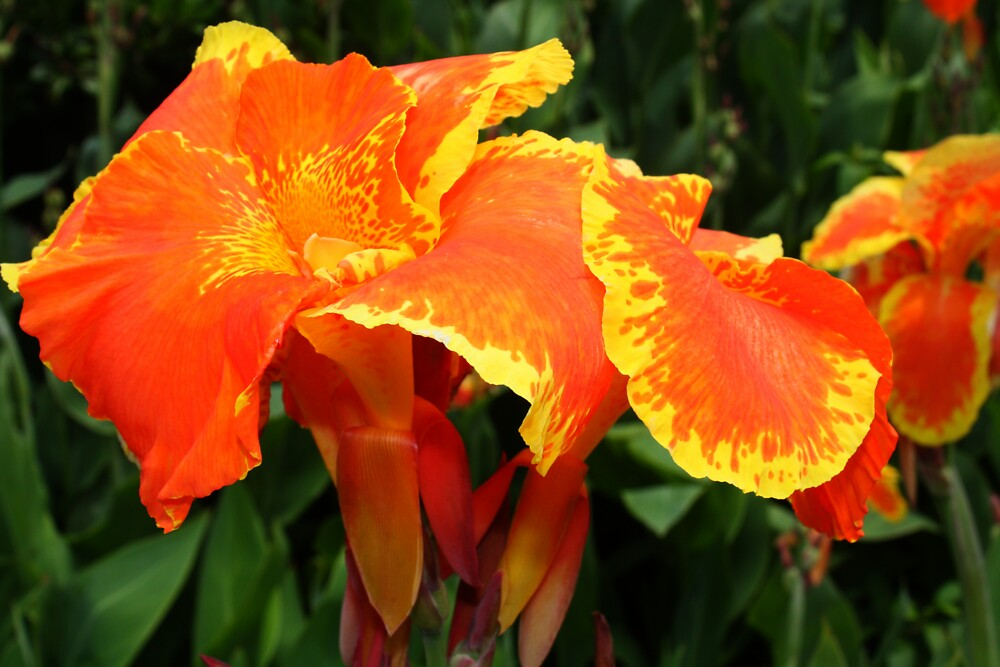 Canna Have A Flower by Stevos57