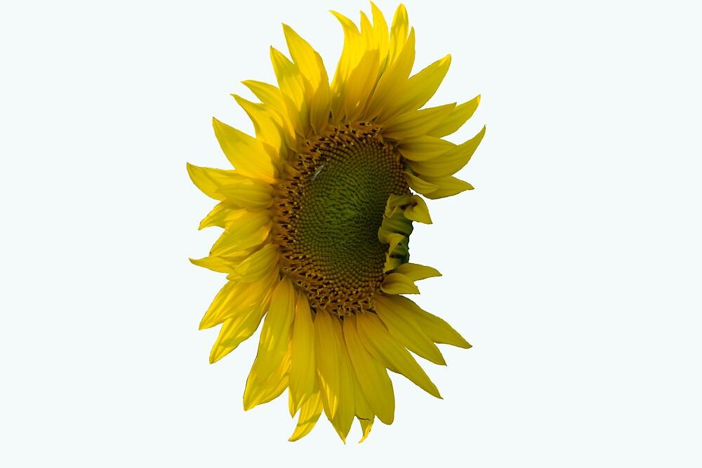 sunflower by slavikostadinov