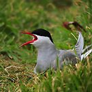 Arctic Tern by James1980