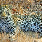 Thumbela -one of my favorite leopards by jozi1
