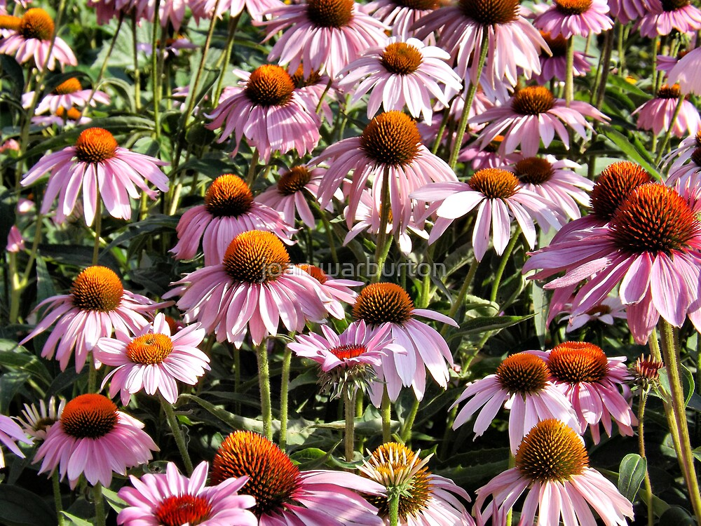 Cone Flowers by joan warburton