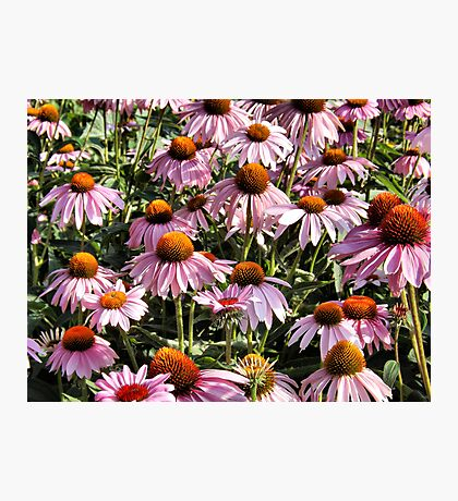 Cone Flowers Photographic Print