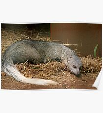 White - Tailed Mongoose Poster