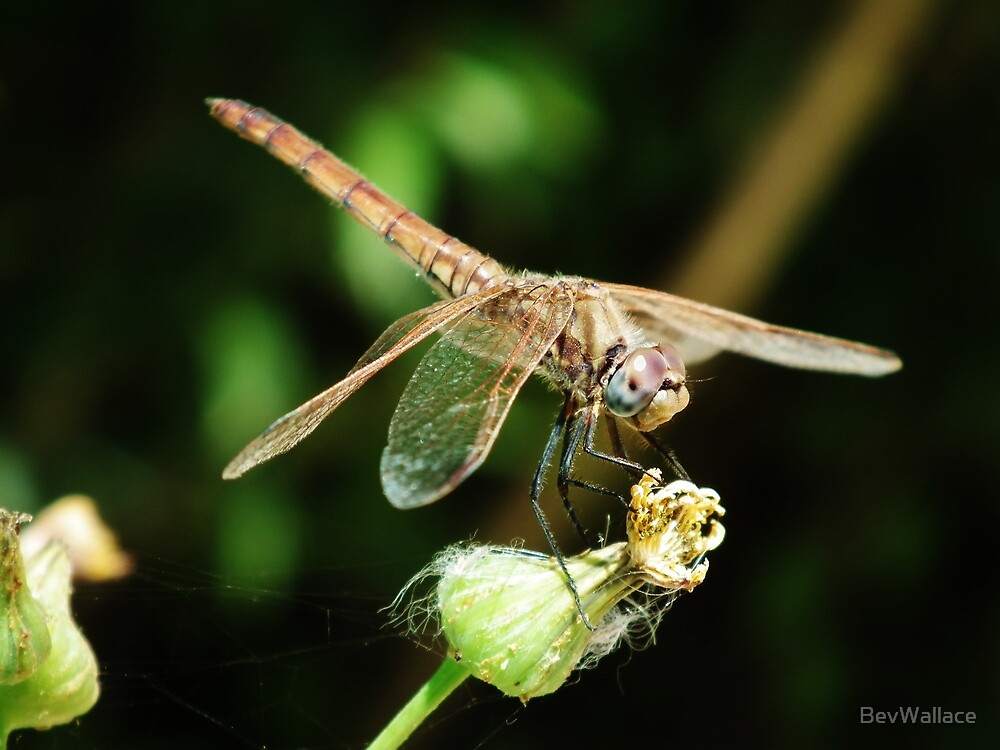 Dragonfly by BevWallace