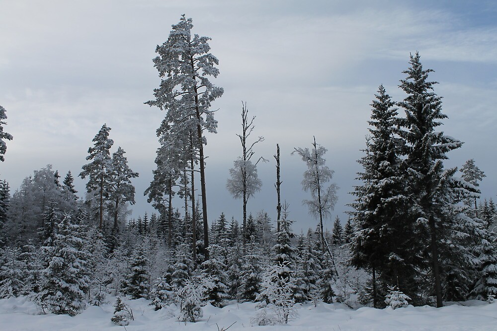 Winter forest. Norway. by UpNorthPhoto