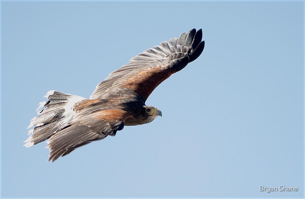 Harris Hawk Flight Show  by Bryan Shane