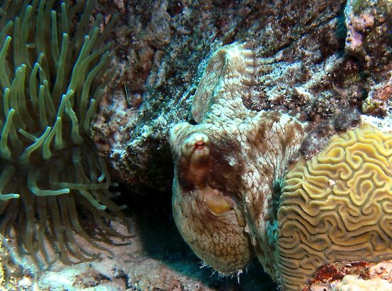 """""""Caribbean Reef Octopus in Coral Reef home"""" by Amy ..."""