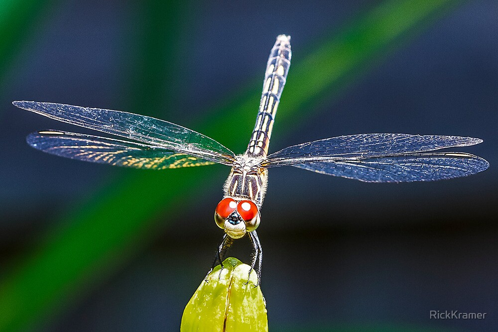 Blue Dasher Dragonfly by RickKramer