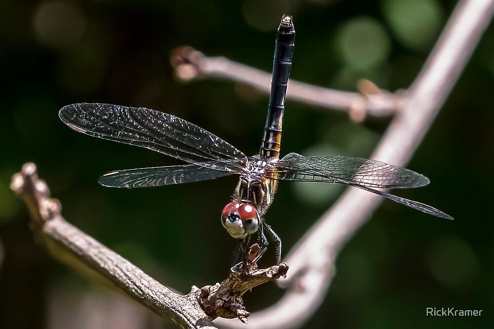 Blue Dasher Dragonfly by RickKramer